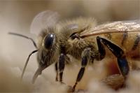 Bee-Understanding-Project